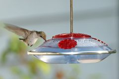 Humming Bird in Flight. At the bird feeder royalty free stock images