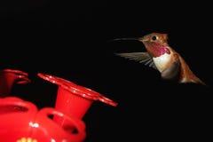 Humming Bird in Flight Royalty Free Stock Photography