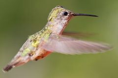 Humming bird in flight Stock Photo