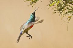 Humming bird in flight, South Africa Stock Photo