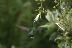 Humming Bird x Flower royalty free stock photography
