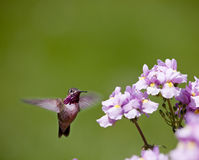 Humming bird with flowers. Spring time in Idaho, small humming bird looking for nectar in flowers stock photography
