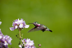 Humming bird with flowers Stock Photos