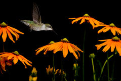 Humming bird flying against black background Royalty Free Stock Photography