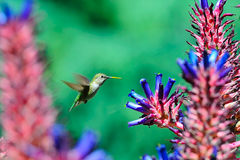 Humming Bird flying around aloe flowers. Humming Bird shuttles around the aloe flowers and its bill stains with yellow pollen granule stock images