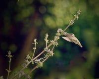 Humming bird. Flying humming bird sucking sweetness from purple Stock Photos