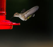 Humming bird getting ready to drink Stock Photography