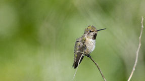 Humming Bird with Green Background. Female Humming Bird perching on dry twig, diffuse green background stock image