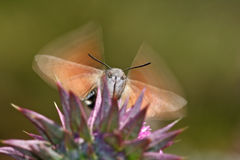 Humming-bird Hawk-moth. Macro detail Stock Images
