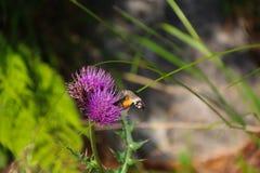 Humming-bird Hawk-mothScientific name: Macroglossum stellatarum. Fly to the Flower. Purple flower royalty free stock photo