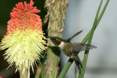 Humming Bird hovering. Humming Bird humming at yellow red flower Stock Photography