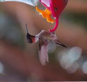 Humming bird. Male ruby throsted humming bird at the feeder Stock Photography