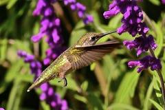 Humming bird. Mid-flight feeding on purple flower Royalty Free Stock Images