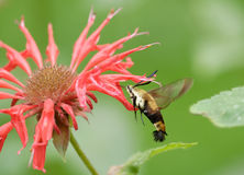 Humming bird moth and bee balm Royalty Free Stock Images