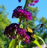 Humming Bird Moth. On Butterfly Bush Stock Photography