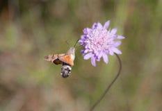 Humming bird moth feding Royalty Free Stock Image
