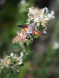 Humming bird moth and flower Royalty Free Stock Images