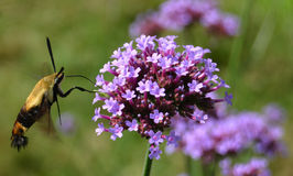 Humming bird moth at work. A hummingbird moth inspecting a purple flower on a sunny day Royalty Free Stock Photo