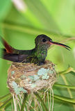 Humming bird in nest. A humming bird resting in it's nest Stock Photography