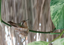 Humming bird nesting Royalty Free Stock Image