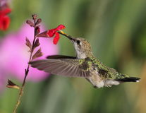 Humming Bird. From Palomino Valley Nevada Stock Photo