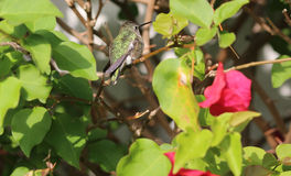 Humming Bird Royalty Free Stock Photos