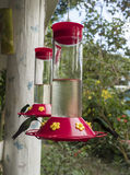 Humming Bird Perched and Drinking from a Bird Feeder. Humming Bird drinking sugar water Royalty Free Stock Photo
