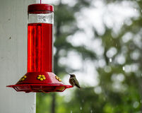 Humming bird. Perched on a feeder Royalty Free Stock Photos