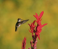 Humming bird at red flower. A closeup view of a humming bird in mid-flight, gathering nectar from a red flower stock images