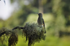 Humming-bird, Reserva Rio Blanca, Colombia Royalty Free Stock Images