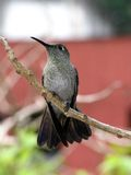 Humming bird at rest 7. Hummingbird in branch closeup stock photography