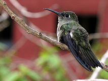 Humming bird at rest 8. Hummingbird in branch stock photo