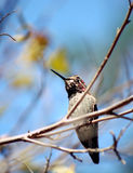 A humming Bird resting on a tree branch Royalty Free Stock Image