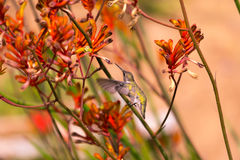 Humming Bird. A humming bird searching for food among Kangaroo Paw plants Royalty Free Stock Image