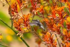 Humming Bird. A humming bird searching for food among Kangaroo Paw plants Royalty Free Stock Photography