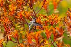 Humming Bird. A humming bird searching for food among Kangaroo Paw plants Royalty Free Stock Photo