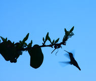 Humming Bird Silhouette Stock Images