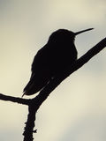 Humming bird silhouette. A silhouette of a humming bird resting on a branch Stock Images