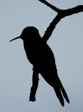 Humming bird silhouette. A silhouette of a humming bird resting on a branch Stock Photos