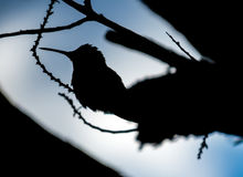 Humming bird silhouette. A silhouette of a humming bird resting on a branch with blue sky in the background Stock Photo