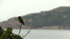 Humming Bird Sitting On Branch With Bay In Background. Hummingbird Sitting On Bare Branch Of Tree Looking Around stock footage