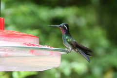 Humming Bird sitting on a Feeding Station Royalty Free Stock Photos