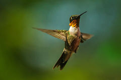 Humming bird. A humming bird sitting in green grass stock images