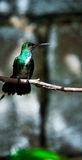 The humming bird Stock Images
