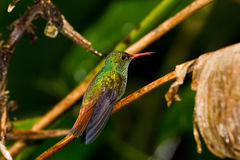 Humming bird. Small humming bird perch on a twig in the rainforest of Belize royalty free stock photos