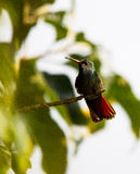 Humming Bird. Standing on a branch Royalty Free Stock Photo