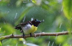 Humming Bird. Stunning sun bird feeling happy with the rain drops Royalty Free Stock Image
