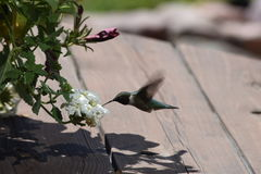 Humming Bird. Sunny day, picnic table, outdoors, summer time Royalty Free Stock Photos