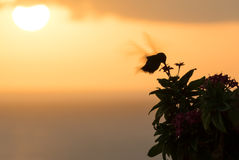 Humming bird in the sunset Stock Images