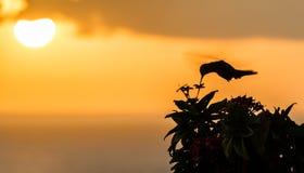 Humming bird in the sunset Stock Photos